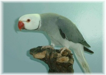 Ring-necked parakeet - Cleartail Grey
