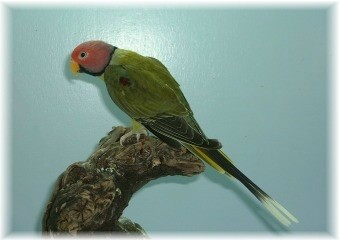 Plum-headed parakeet - Greygreen
